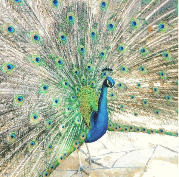 Resident Peacock at Constance Lemuria