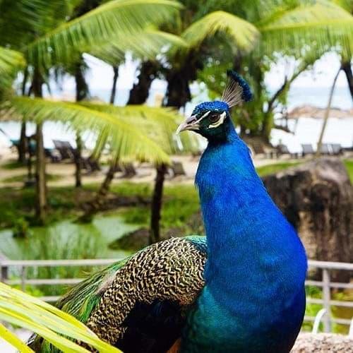 Peacock at Constance Ephelia Seychelles